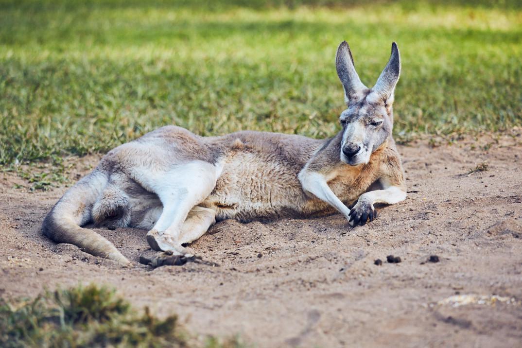 Roadtrip, Australien, Kangaroo, Känguru, Australia Zoo, Australien, spend a day in, ein Tag im, chill, sun, sunny day, gemütlich