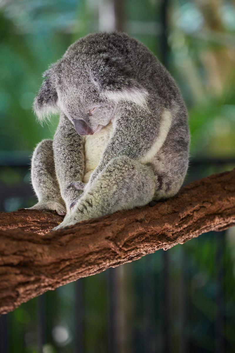 Miles and Shores, Reiseblog, travelblog, roadtrip,Koala, sleepy, Koalabär, schlafend, nickerchen, müde, dozing, tired, cute, süss, Australia Zoo, where to find, where to see,