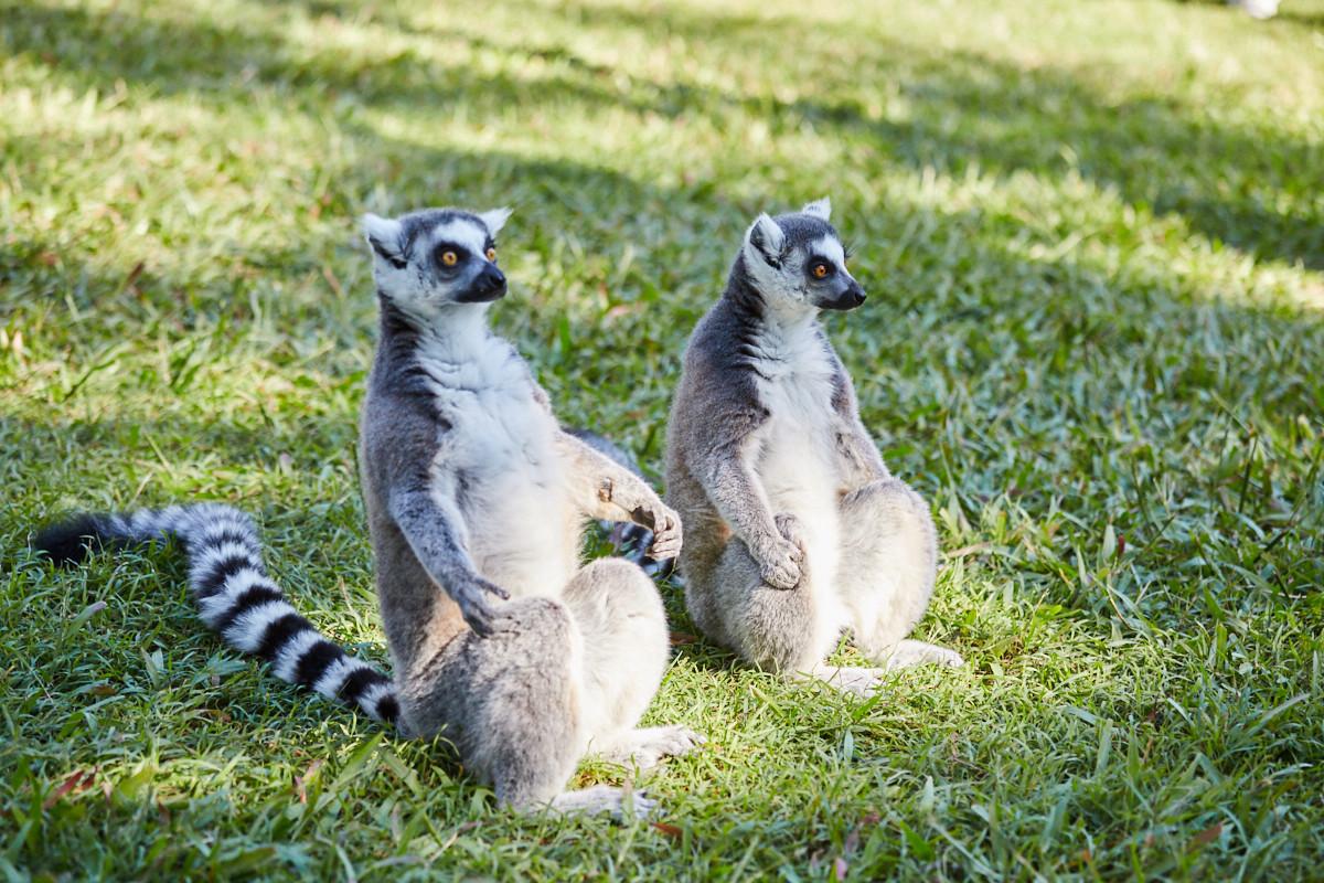 Lemuren, Lemures, island, Australia Zoo, Australien, sonnen, Miles and Shores, Reiseblog, blogger, sonnig,