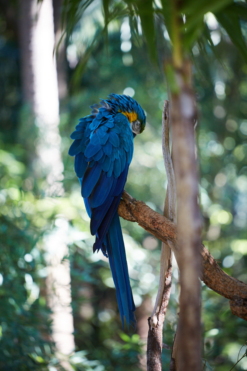 Papagei, blau, azur, Australia Zoo, Australien, Queensland, things to do, things to see, beautiful day, spend a day in,