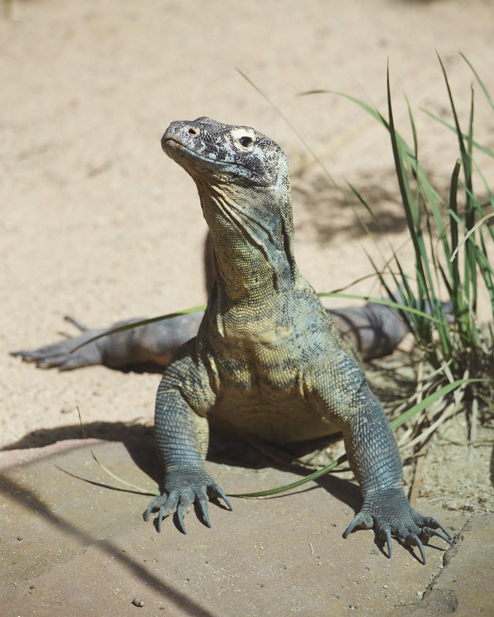 Waran, big waran, Australia Zoo, Australien, Queensland,