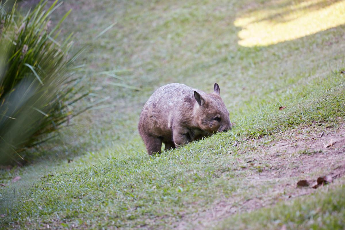 Wombat, Australia Zoo, Australien, where to find, Miles and Shores, Reiseblog, bloggen,